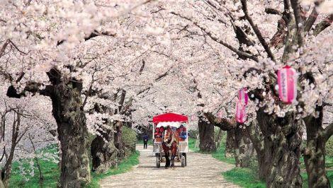 Cherry Blossoms, Kakunodate, Akita, Japan