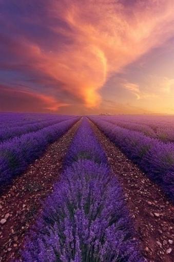 Lavender Fields, Valensole, Provence, France