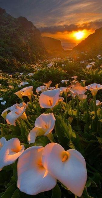 Calla Lily Valley,  Cabrillo Hwy, Carmel-by-the-Sea, CA