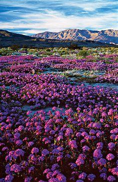 Anza-Borrego Desert Wildflowers, San Diego, CA